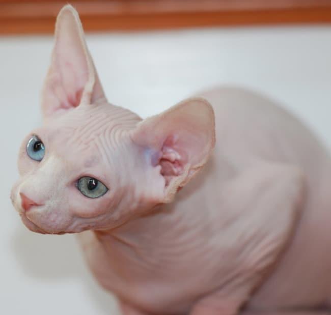 gato sphynx de pele rosada