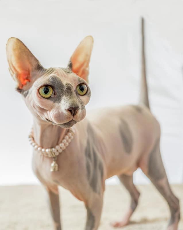 gato sphynx mesclado