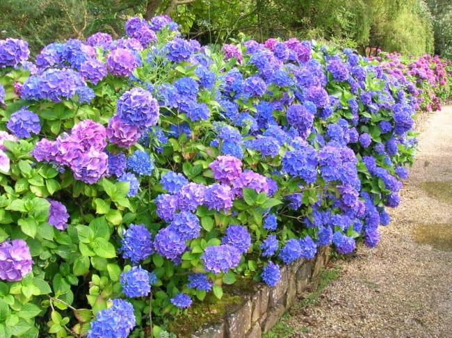 hortensias no jardim