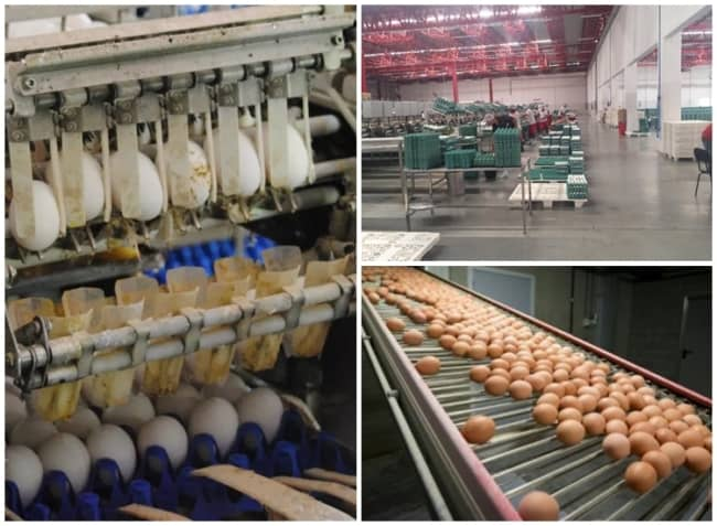 como funciona distribuidora de ovos