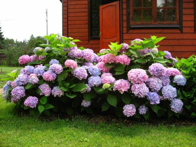 casa de campo com hortensias no jardim