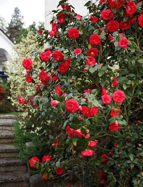 flores vermelhas de camelia