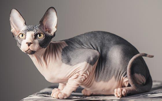 gato sphynx de manchas cinza