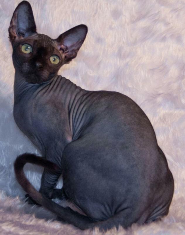 cores e tipos de gato sphynx