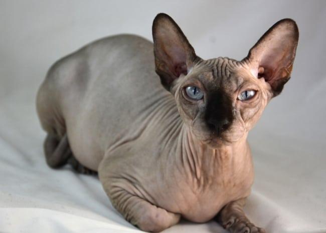 cor de gato sphynx