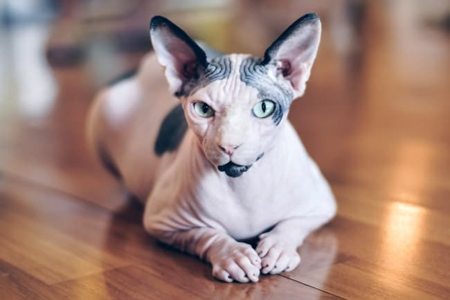 gato sphynx branco e cinza e olho verde