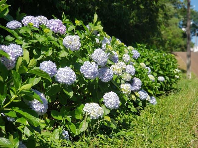 hortensia com flores