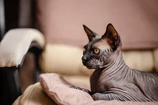 raca de gato sphynx