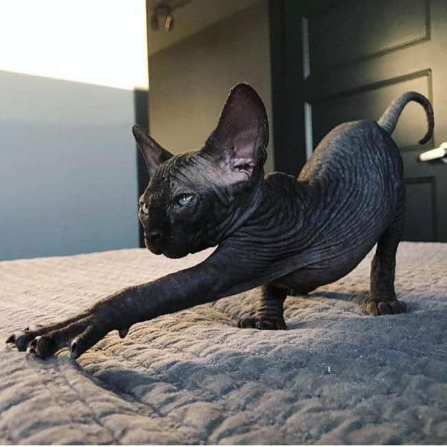 gato preto sem pelos