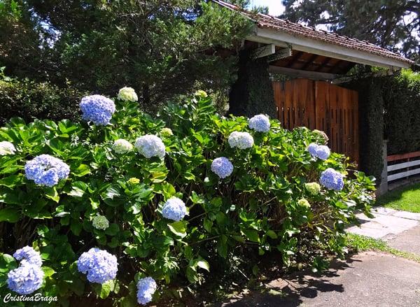 jardim com hortensia azul