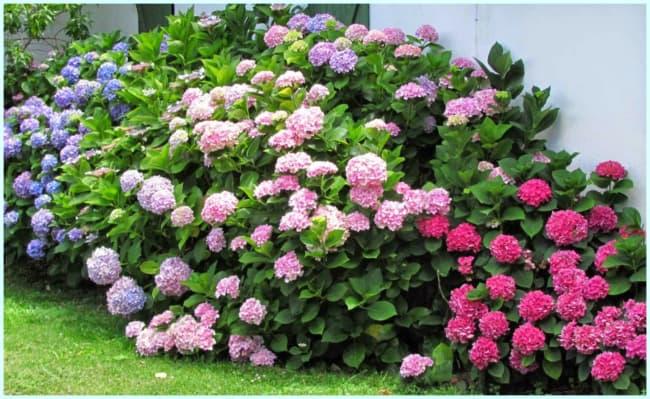 jardim com hortensias de diferentes cores