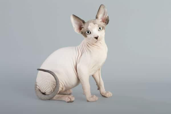 gato sphynx branco e cinza