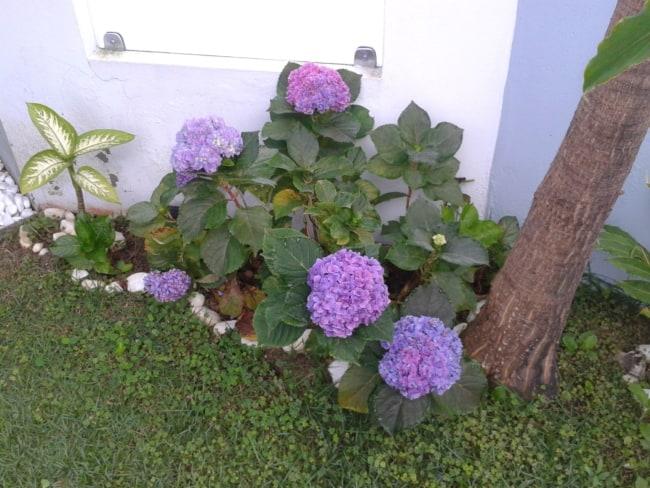 jardim pequeno com hortensias lilas