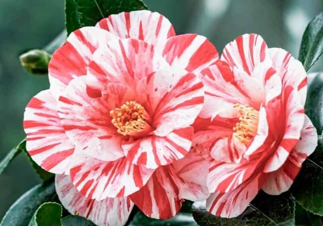 flor de camelia com mistura de cores