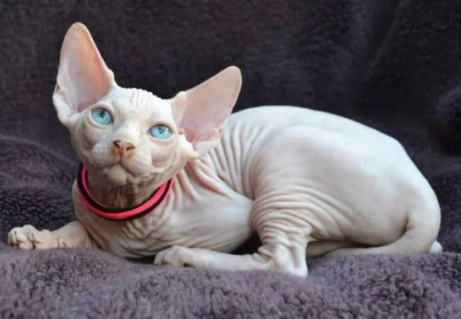 gato sphynx branco de olho azul
