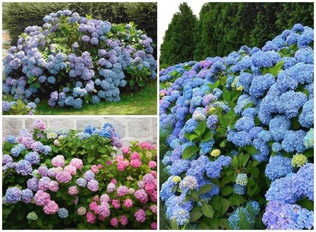 jardim com hortensias