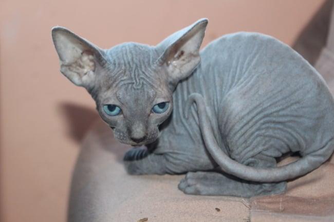filhote de gato sphynx cinza