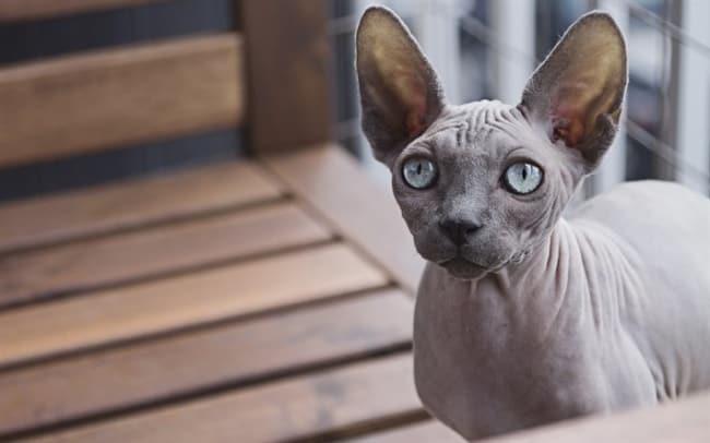 gato cinza sem pelos