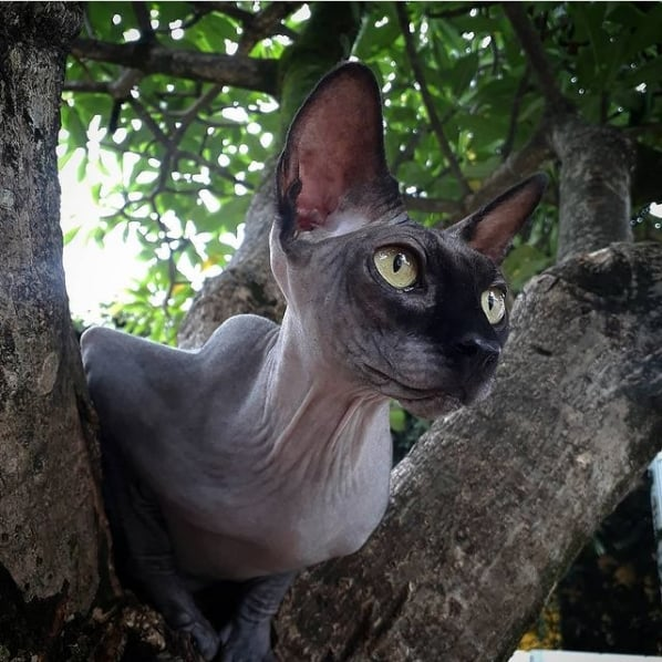 conta no instagram sobre gatos sem pelo