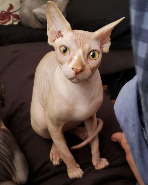 pagina no instagram de gatos sphynx