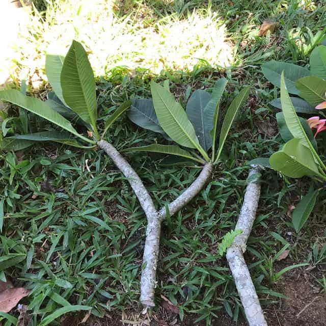 como plantar jasmim manga