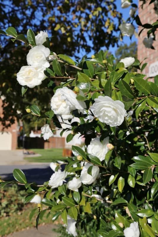 flor branca de camelia