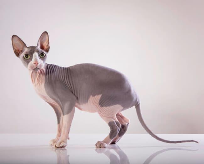 tamanho e peso de gato sphynx