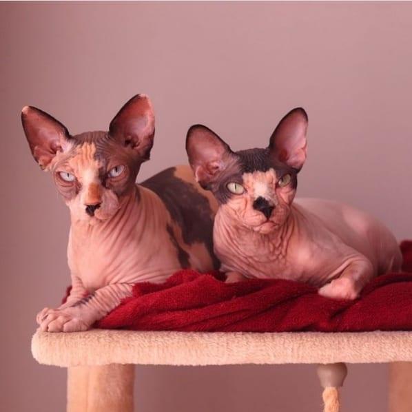 conta no instagram de gatos sem pelo