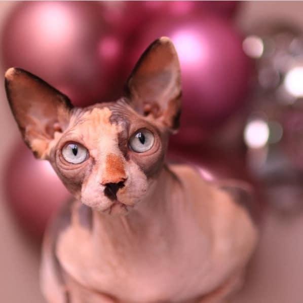 fotos de gato sphynx