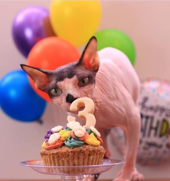 gato sphynx no instagram
