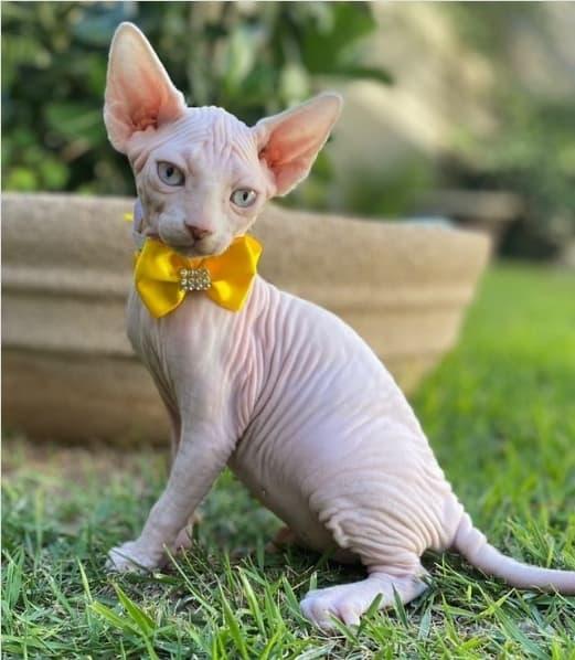 perfil no instagram de gato sem pelo