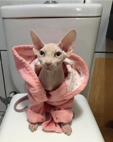 conta no instagram de gato sphynx