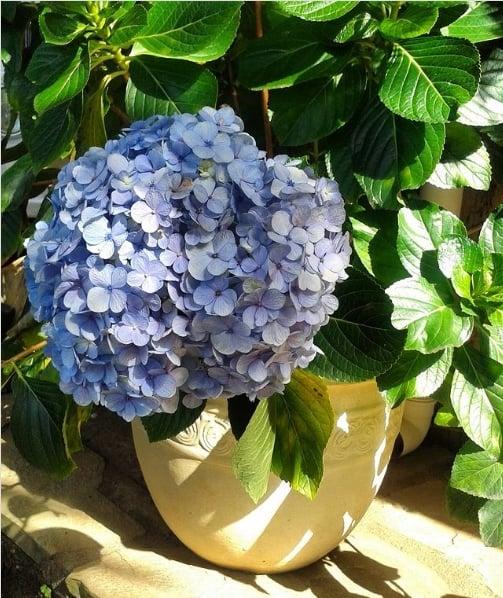 hortensia azul em vaso