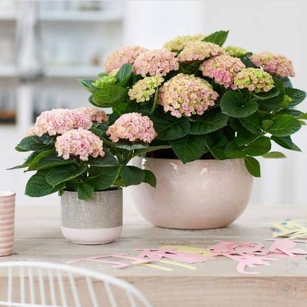 hortensia em vaso pequeno