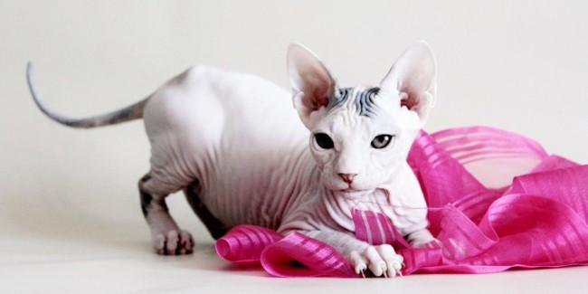 temperamento e caracteristicas de gato sphynx