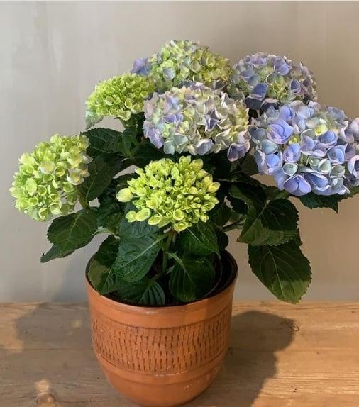 hortensia em vaso medio