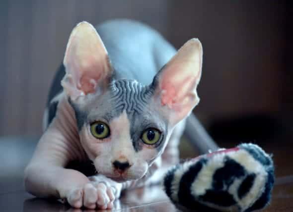 temperamento de gato sphynx