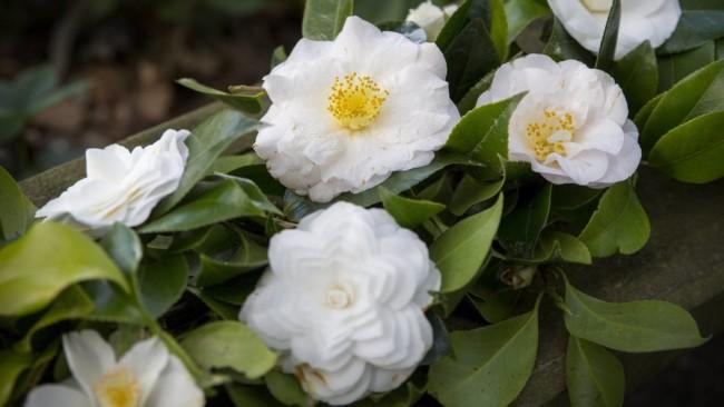 flores brancas de camelia