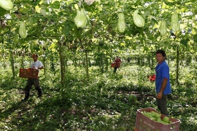 plantação de chuchu