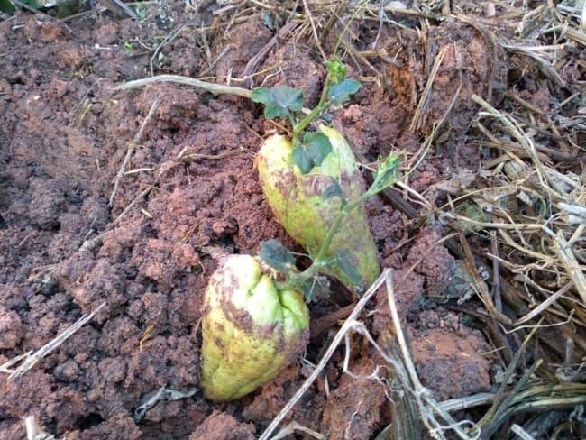 Como plantar chuchu 2 1