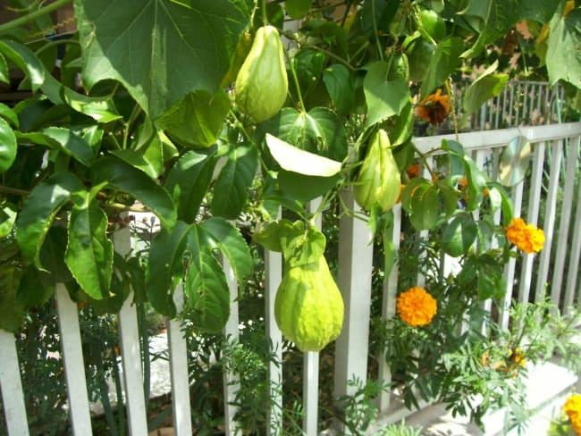 Como plantar chuchu 7