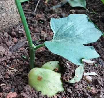 Como plantar chuchu 8