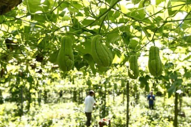 Como plantar chuchu 9