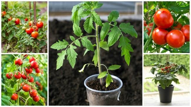 como plantar tomate