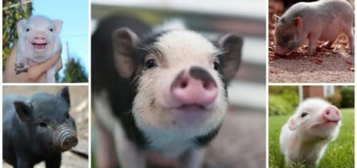 mini porco