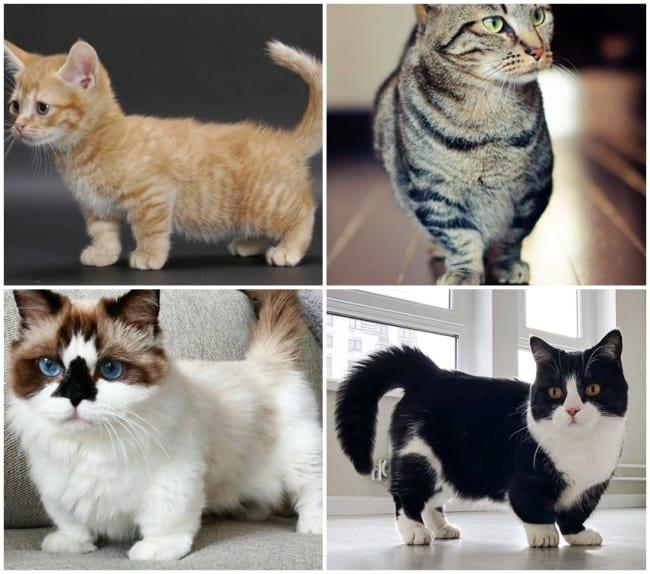 caracteristicas de gato Munchkin