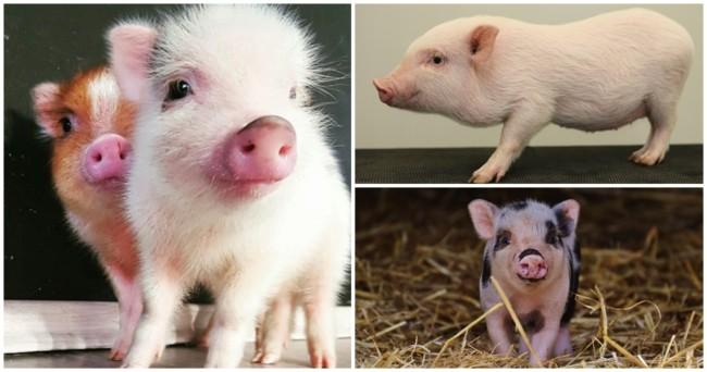 caracteristicas de mini porco