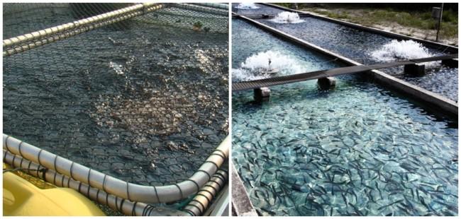 vantagens da piscicultura