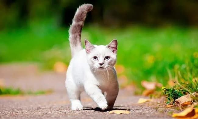 gato anao de pelo branco