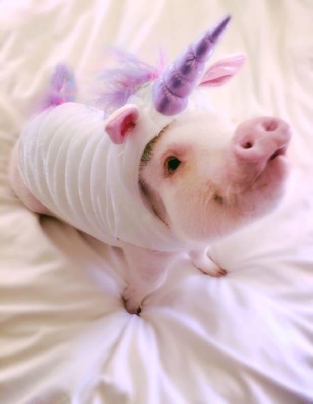 mini pig com fantasia